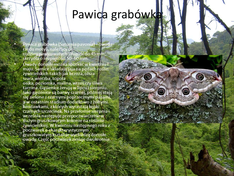 Pawica grabówka