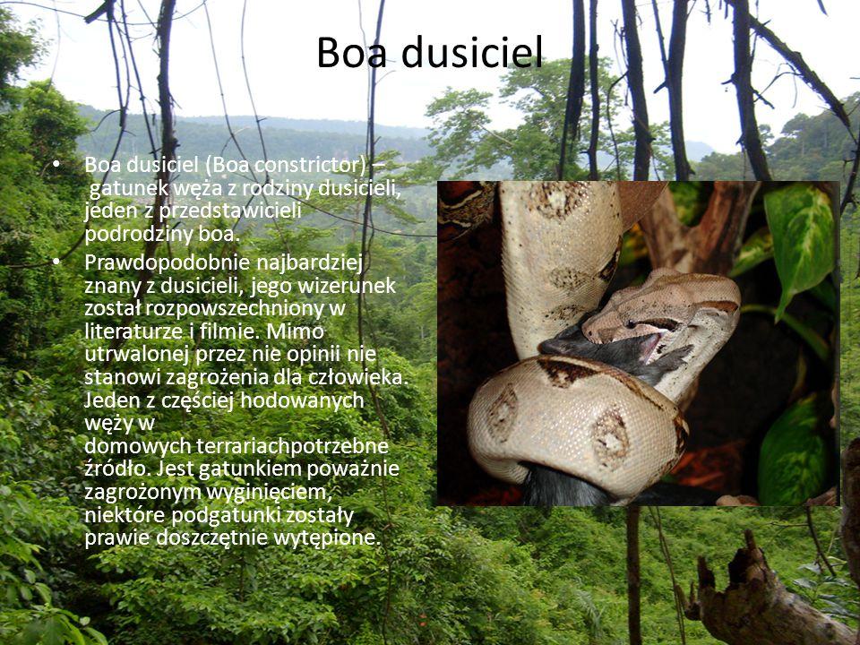 Boa dusiciel Boa dusiciel (Boa constrictor) – gatunek węża z rodziny dusicieli, jeden z przedstawicieli podrodziny boa.