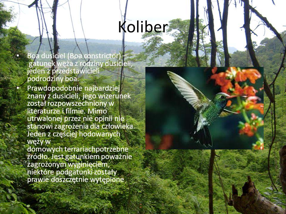 Koliber Boa dusiciel (Boa constrictor) – gatunek węża z rodziny dusicieli, jeden z przedstawicieli podrodziny boa.