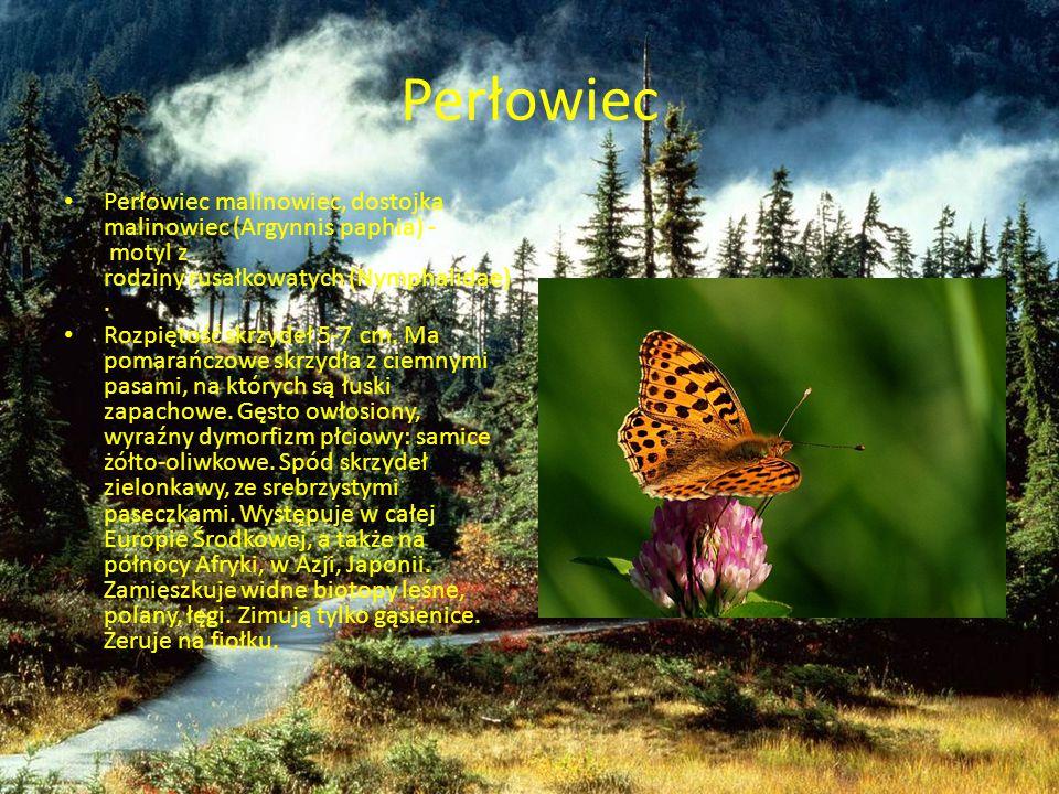 Perłowiec Perłowiec malinowiec, dostojka malinowiec (Argynnis paphia) - motyl z rodziny rusałkowatych (Nymphalidae).