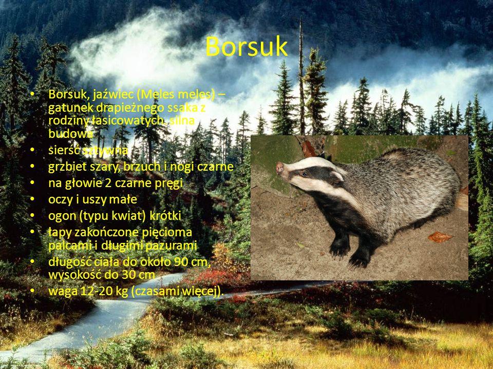 Borsuk Borsuk, jaźwiec (Meles meles) – gatunek drapieżnego ssaka z rodziny łasicowatych. silna budowa.