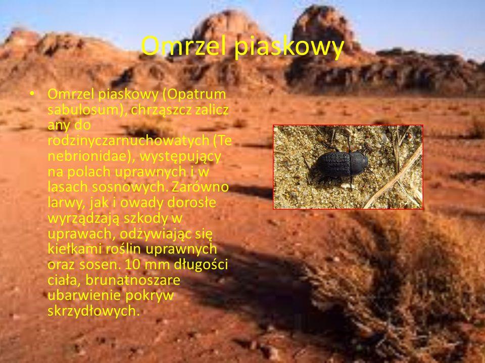 Omrzel piaskowy