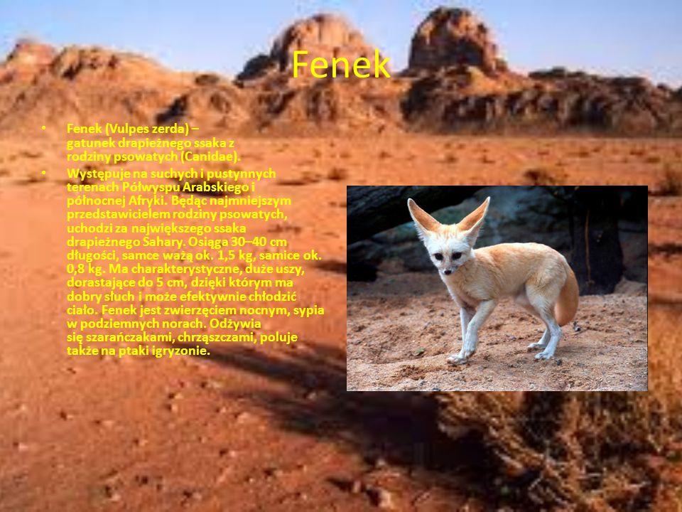 Fenek Fenek (Vulpes zerda) – gatunek drapieżnego ssaka z rodziny psowatych (Canidae).