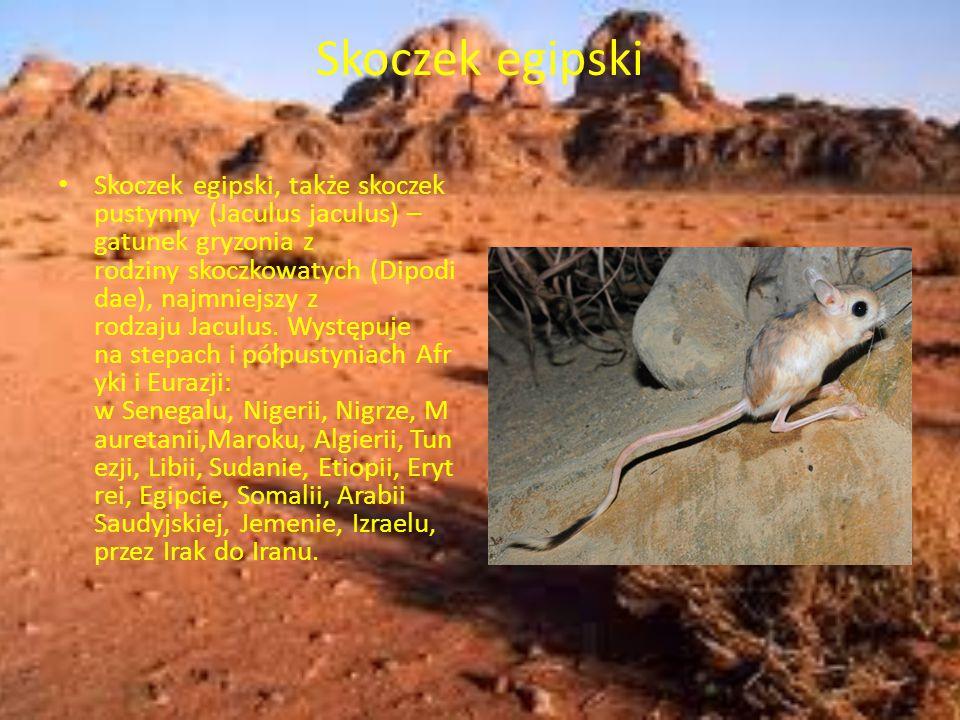 Skoczek egipski