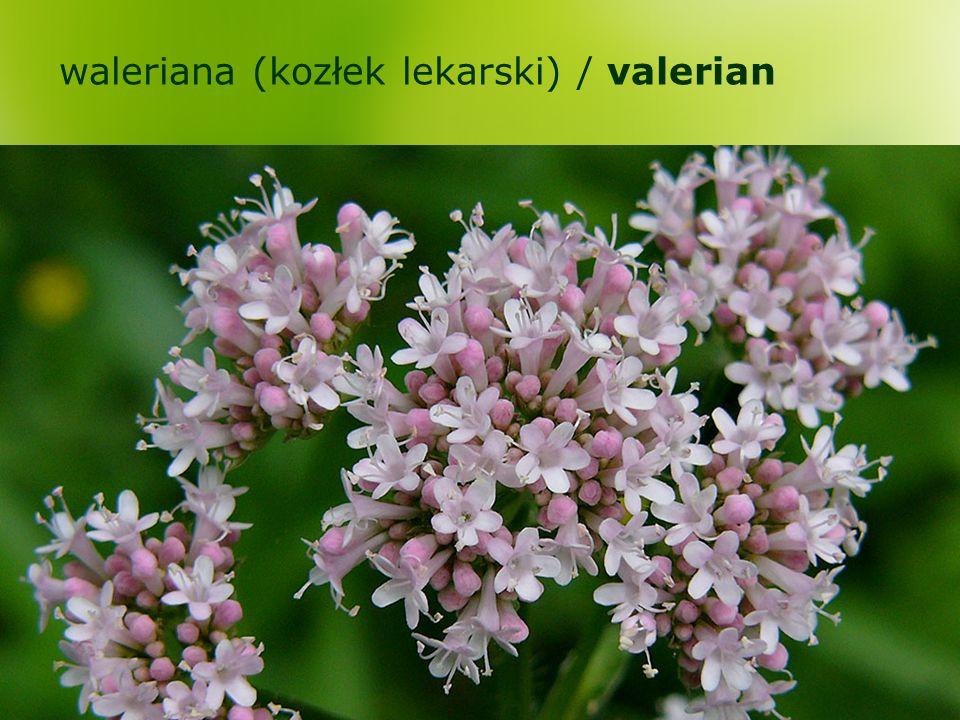 waleriana (kozłek lekarski) / valerian