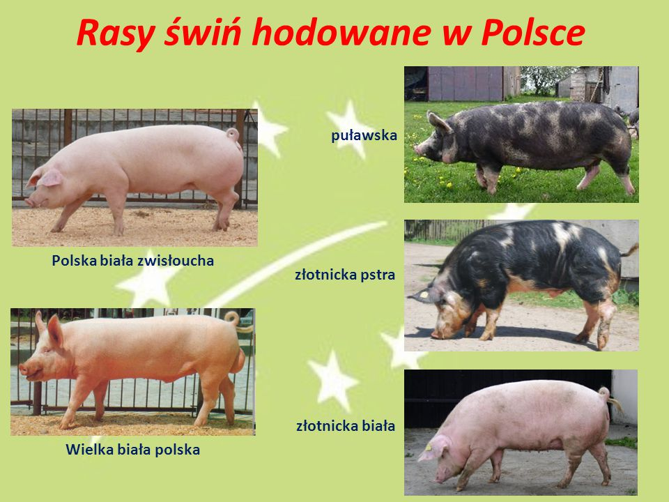 Rasy świń hodowane w Polsce