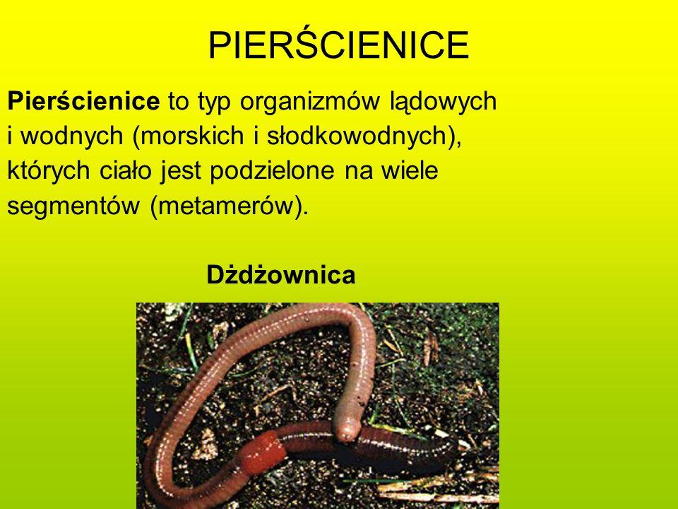 PIERŚCIENICE Pierścienice to typ organizmów lądowych