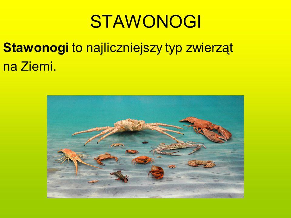 STAWONOGI Stawonogi to najliczniejszy typ zwierząt na Ziemi.