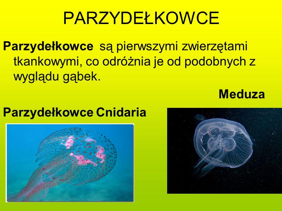 PARZYDEŁKOWCE Parzydełkowce są pierwszymi zwierzętami tkankowymi, co odróżnia je od podobnych z wyglądu gąbek.
