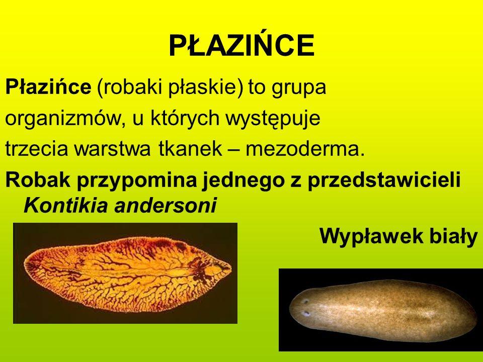 PŁAZIŃCE Płazińce (robaki płaskie) to grupa