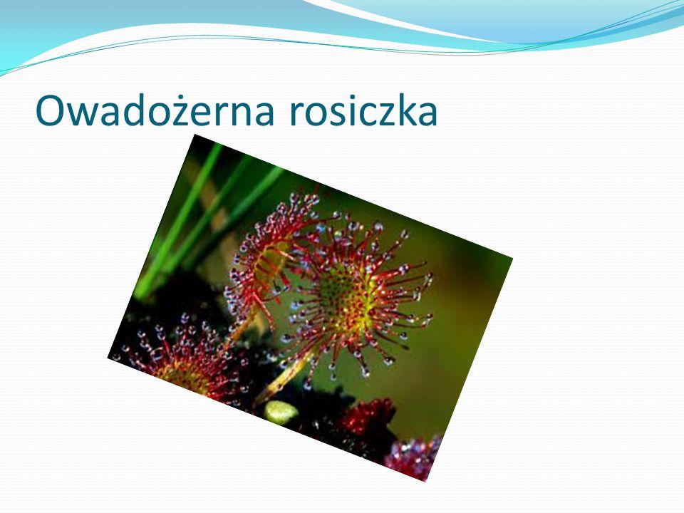 Owadożerna rosiczka