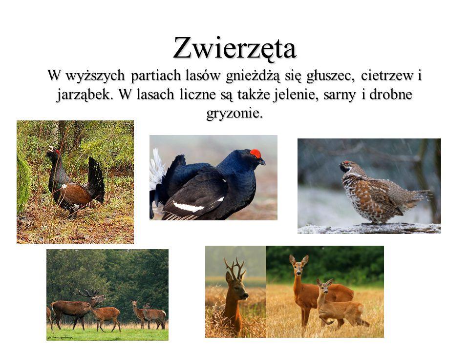 Zwierzęta W wyższych partiach lasów gnieżdżą się głuszec, cietrzew i jarząbek.