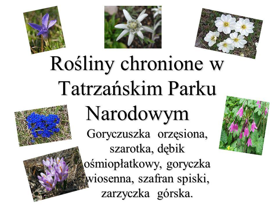 Rośliny chronione w Tatrzańskim Parku Narodowym