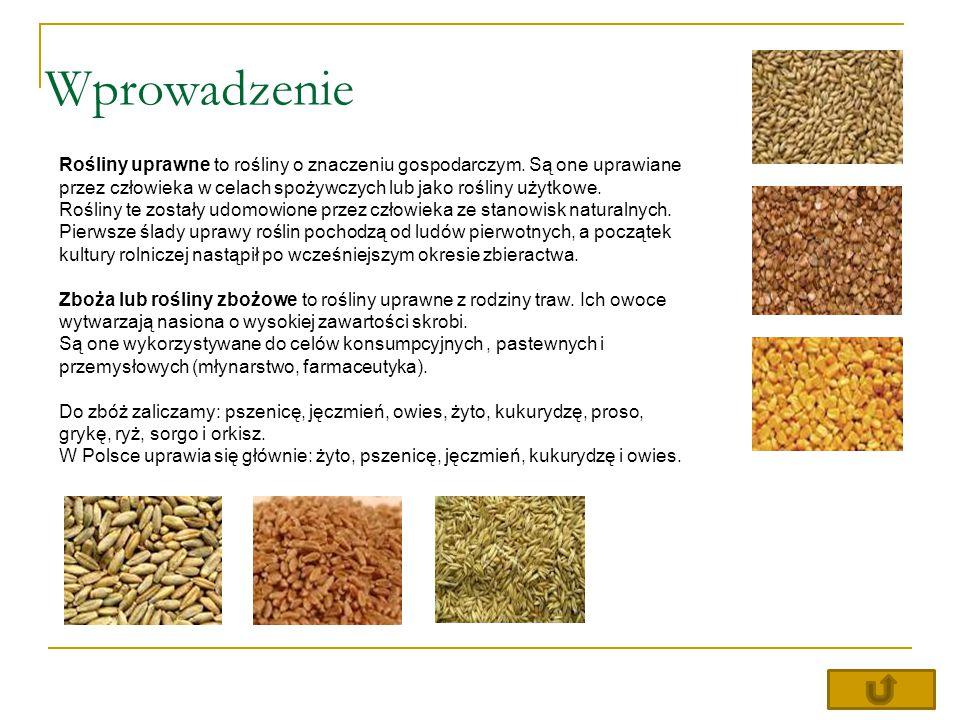 Wprowadzenie Rośliny uprawne to rośliny o znaczeniu gospodarczym. Są one uprawiane przez człowieka w celach spożywczych lub jako rośliny użytkowe.