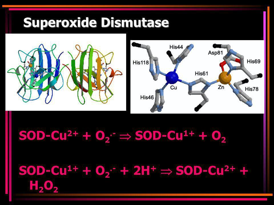 Superoxide Dismutase SOD-Cu2+ + O2.-  SOD-Cu1+ + O2