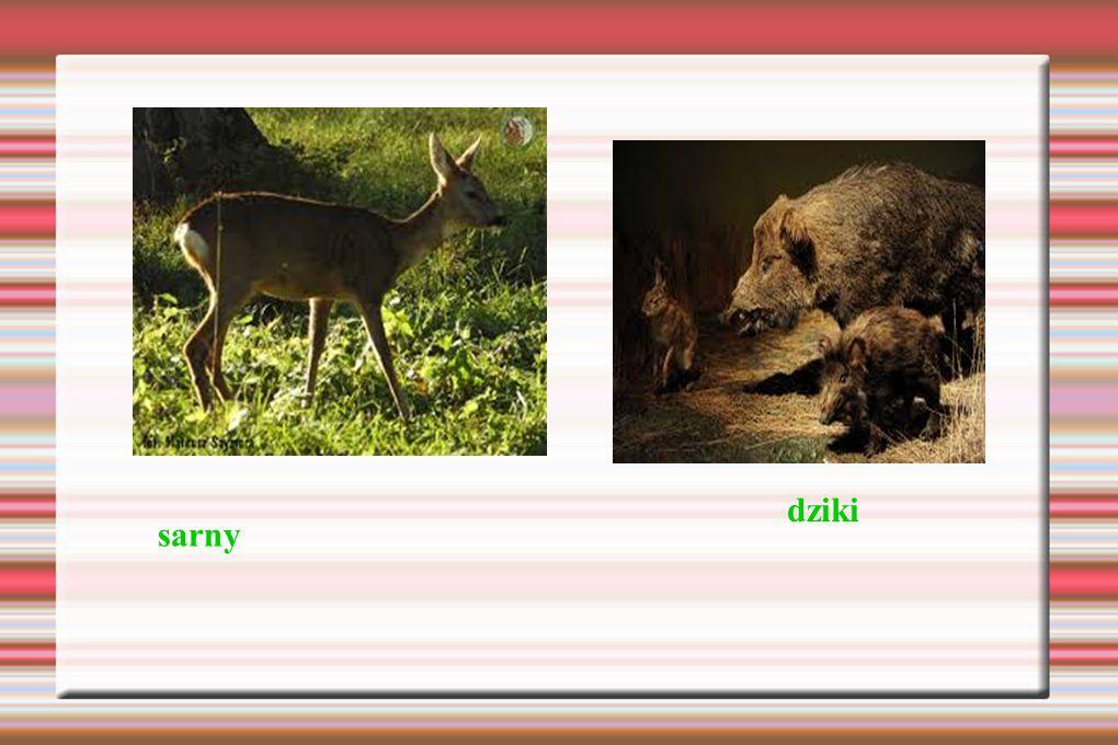 dziki sarny