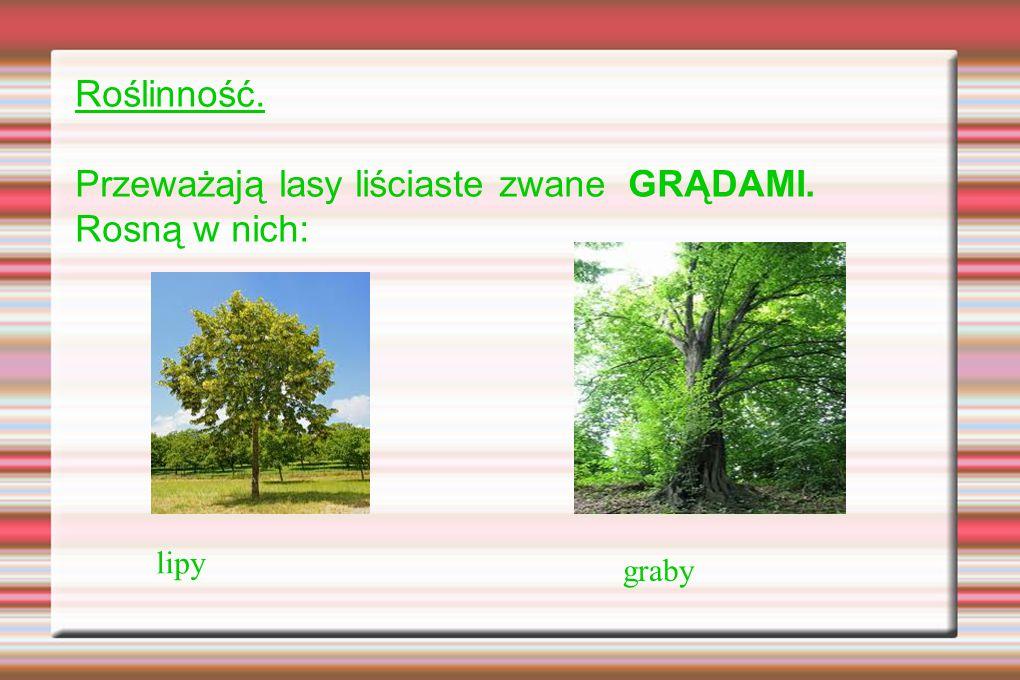 Roślinność. Przeważają lasy liściaste zwane GRĄDAMI. Rosną w nich: