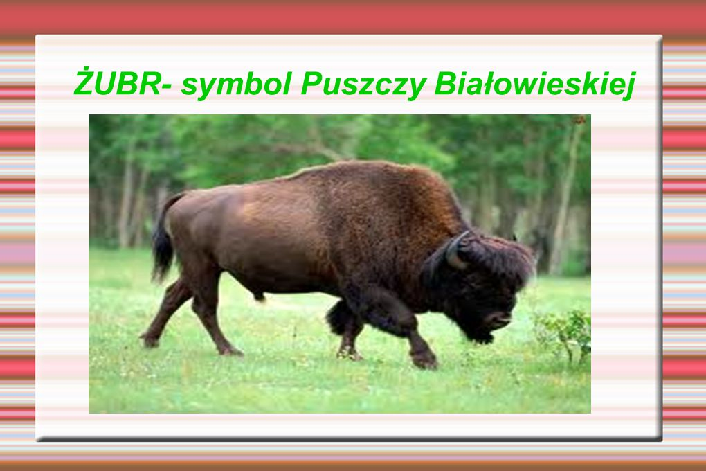 ŻUBR- symbol Puszczy Białowieskiej