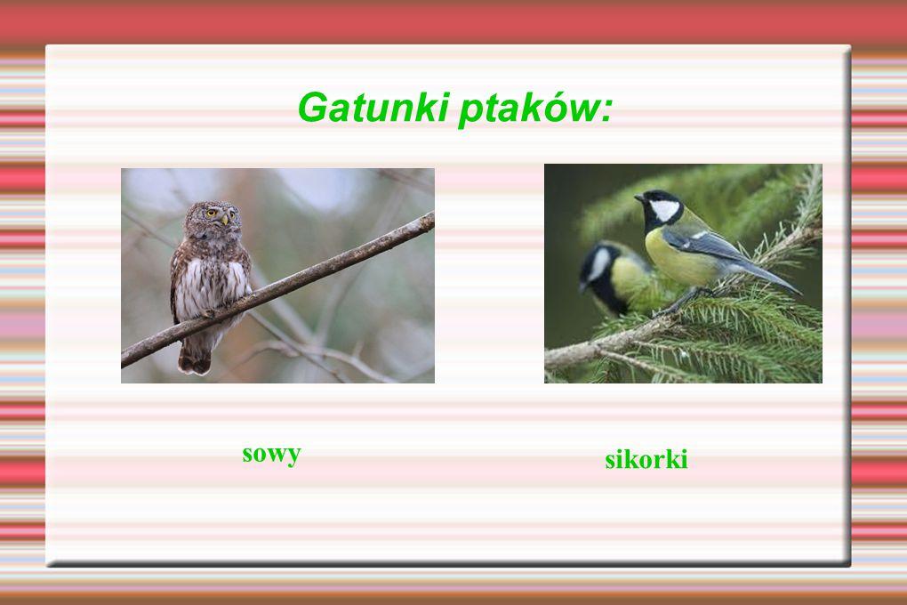 Gatunki ptaków: sowy sikorki