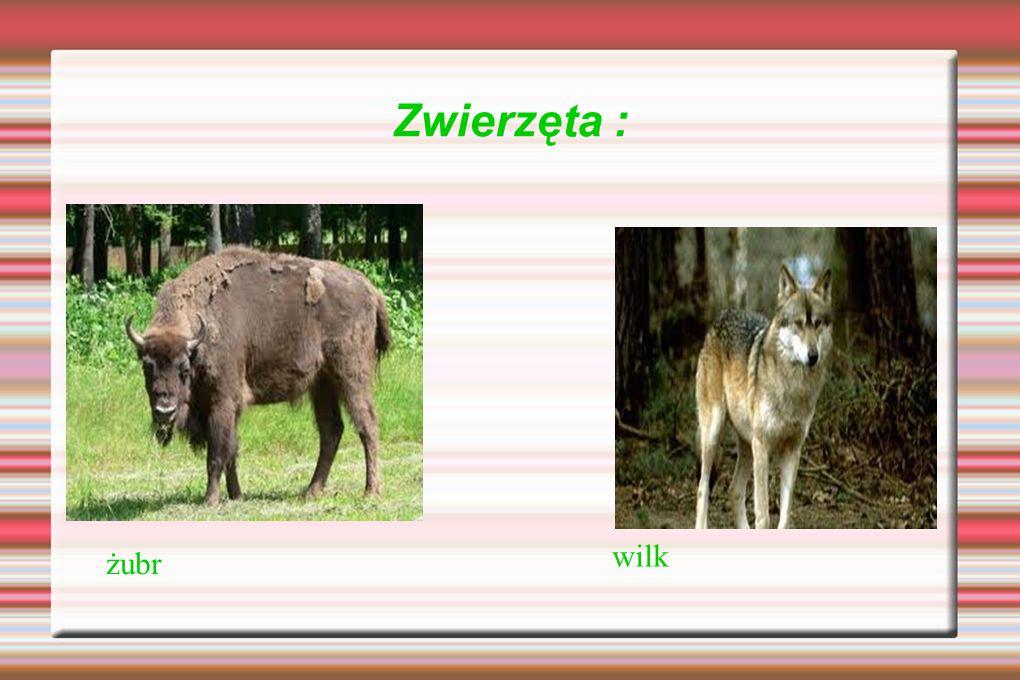 Zwierzęta : wilk żubr