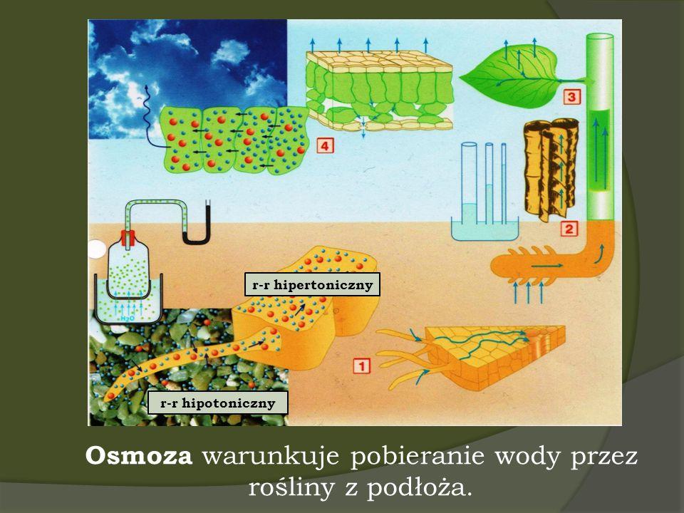Osmoza warunkuje pobieranie wody przez rośliny z podłoża.