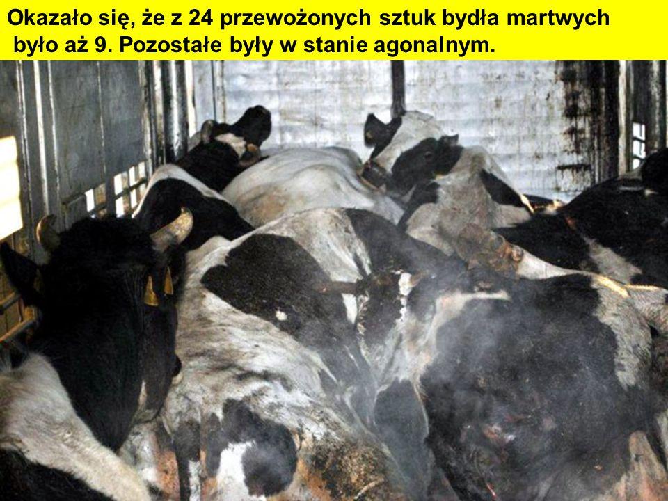 Okazało się, że z 24 przewożonych sztuk bydła martwych