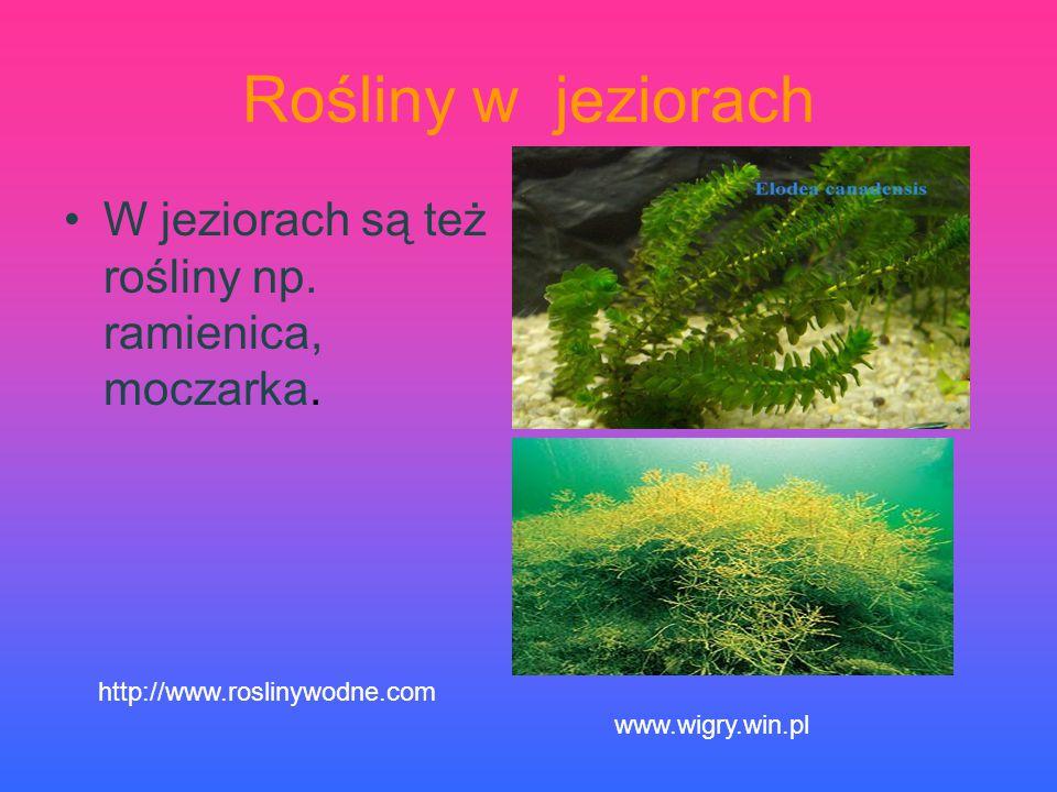 Rośliny w jeziorach W jeziorach są też rośliny np. ramienica, moczarka. http://www.roslinywodne.com.