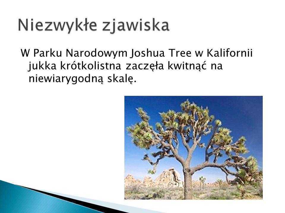 Niezwykłe zjawiska W Parku Narodowym Joshua Tree w Kalifornii jukka krótkolistna zaczęła kwitnąć na niewiarygodną skalę.