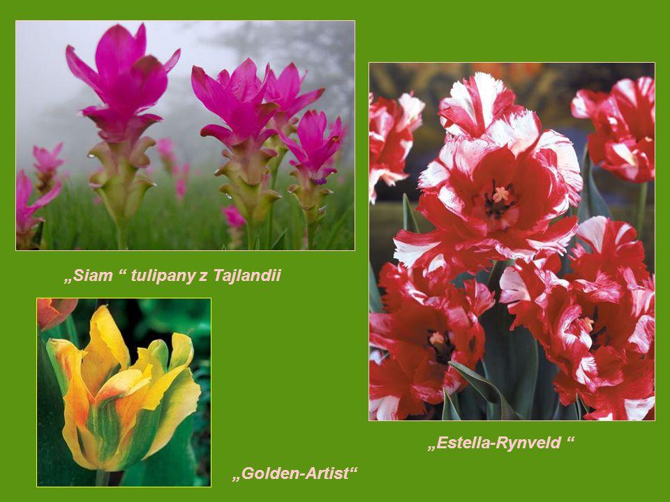 """""""Siam tulipany z Tajlandii"""
