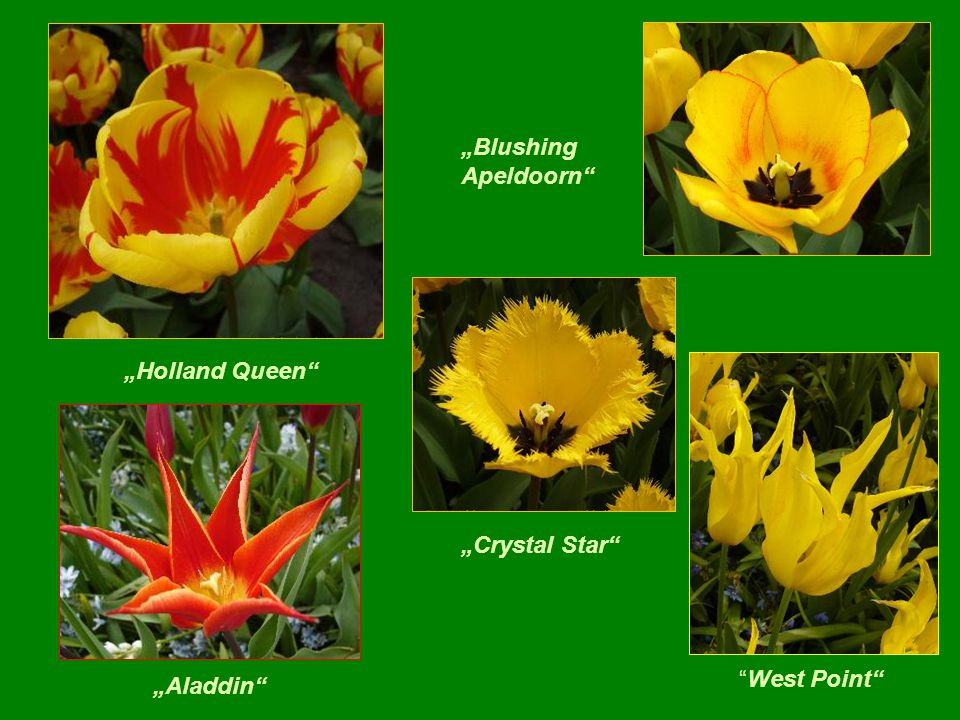 """Blushing Apeldoorn ""Holland Queen ""Crystal Star West Point ""Aladdin"