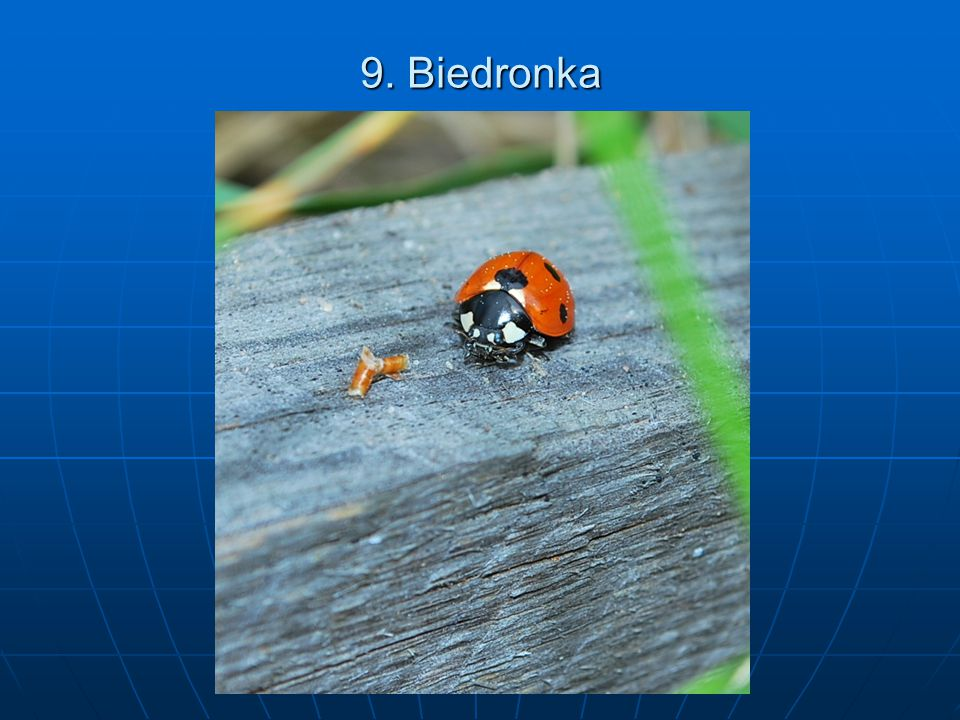 9. Biedronka