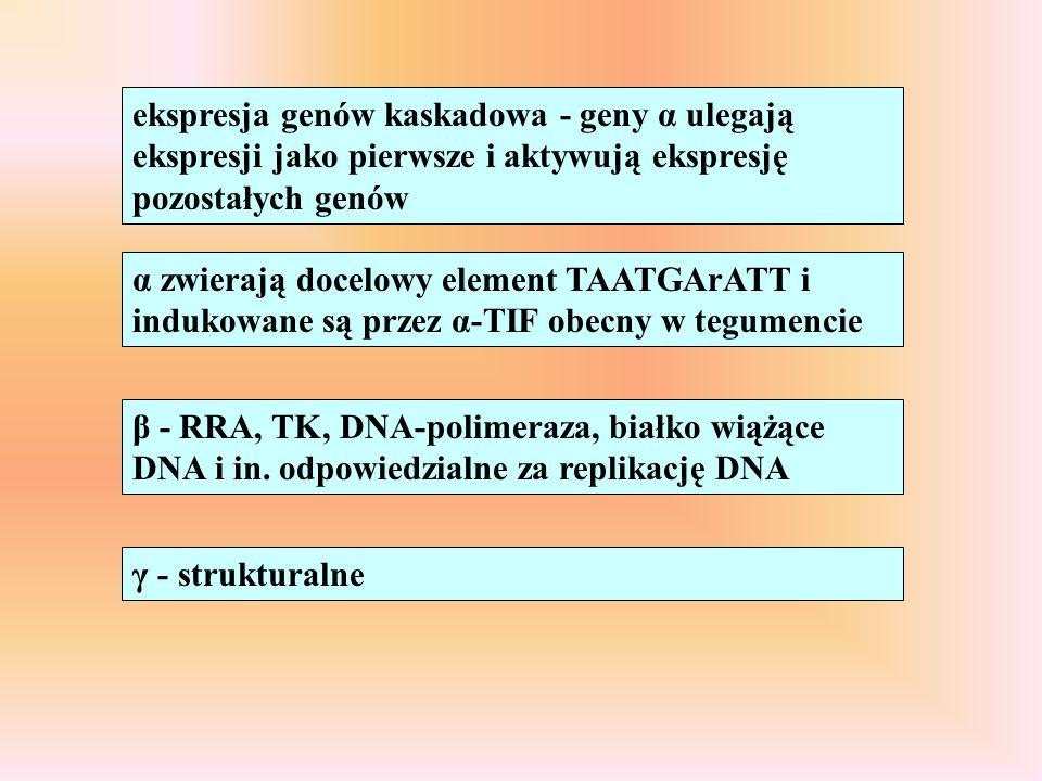 ekspresja genów kaskadowa - geny α ulegają ekspresji jako pierwsze i aktywują ekspresję pozostałych genów