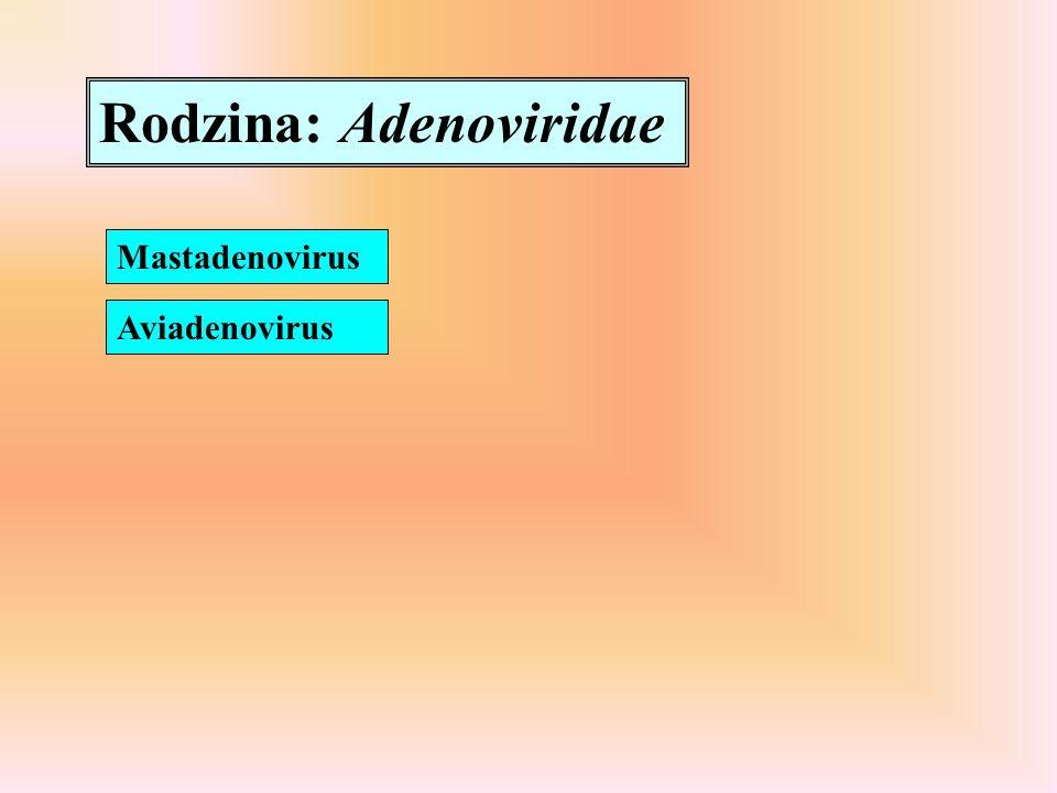 Rodzina: Adenoviridae