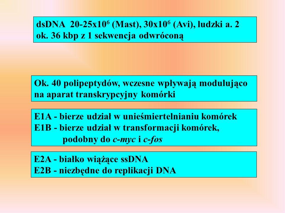 dsDNA 20-25x106 (Mast), 30x106 (Avi), ludzki a. 2 ok