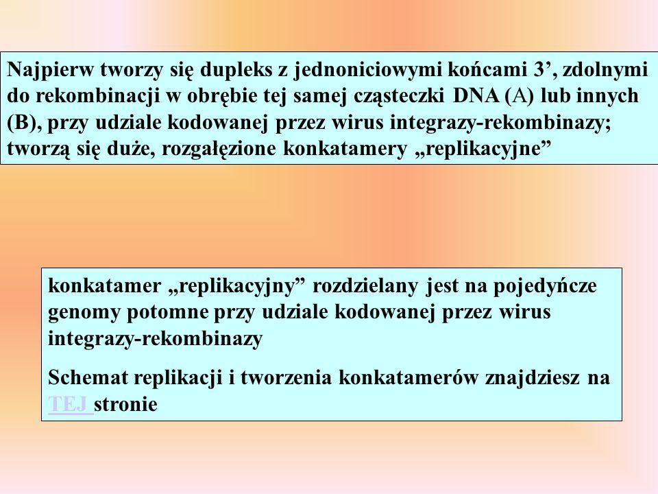 """Najpierw tworzy się dupleks z jednoniciowymi końcami 3', zdolnymi do rekombinacji w obrębie tej samej cząsteczki DNA (A) lub innych (B), przy udziale kodowanej przez wirus integrazy-rekombinazy; tworzą się duże, rozgałęzione konkatamery """"replikacyjne"""
