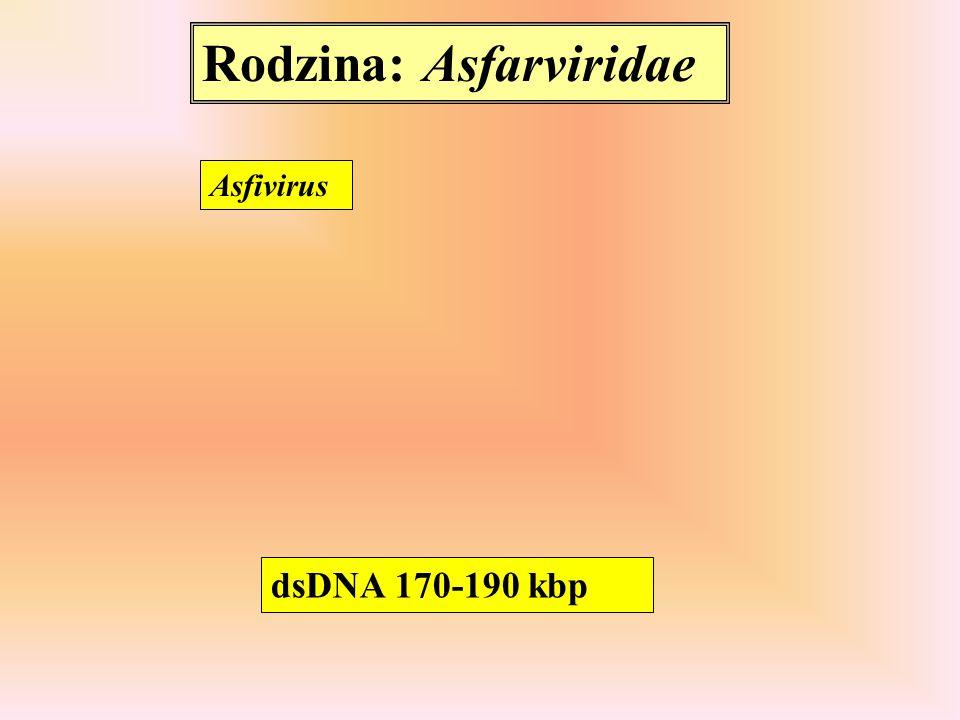 Rodzina: Asfarviridae