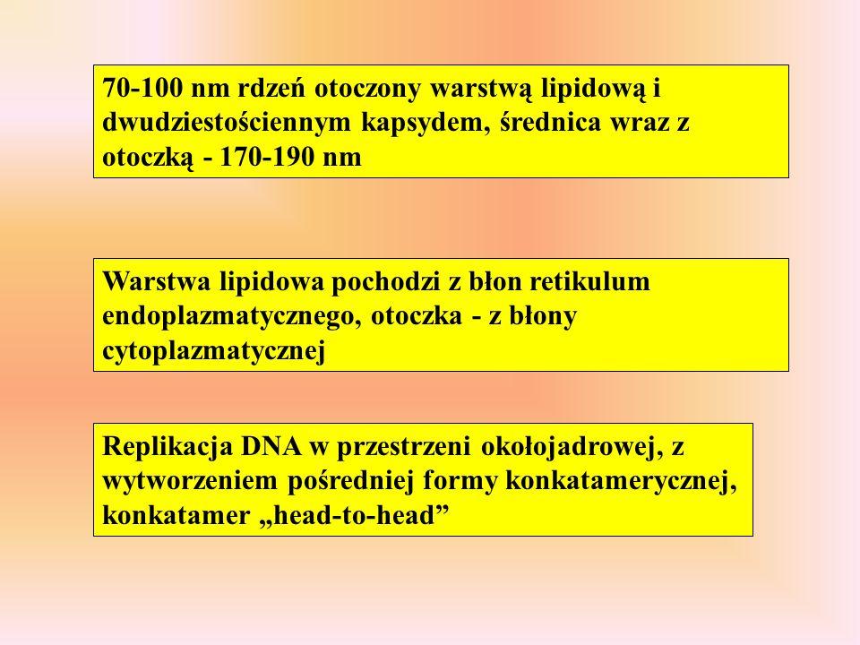70-100 nm rdzeń otoczony warstwą lipidową i dwudziestościennym kapsydem, średnica wraz z otoczką - 170-190 nm