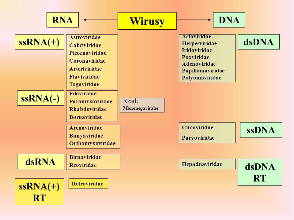 Wirusy RNA DNA ssRNA(+) dsDNA ssRNA(-) ssDNA dsRNA dsDNA RT ssRNA(+)RT
