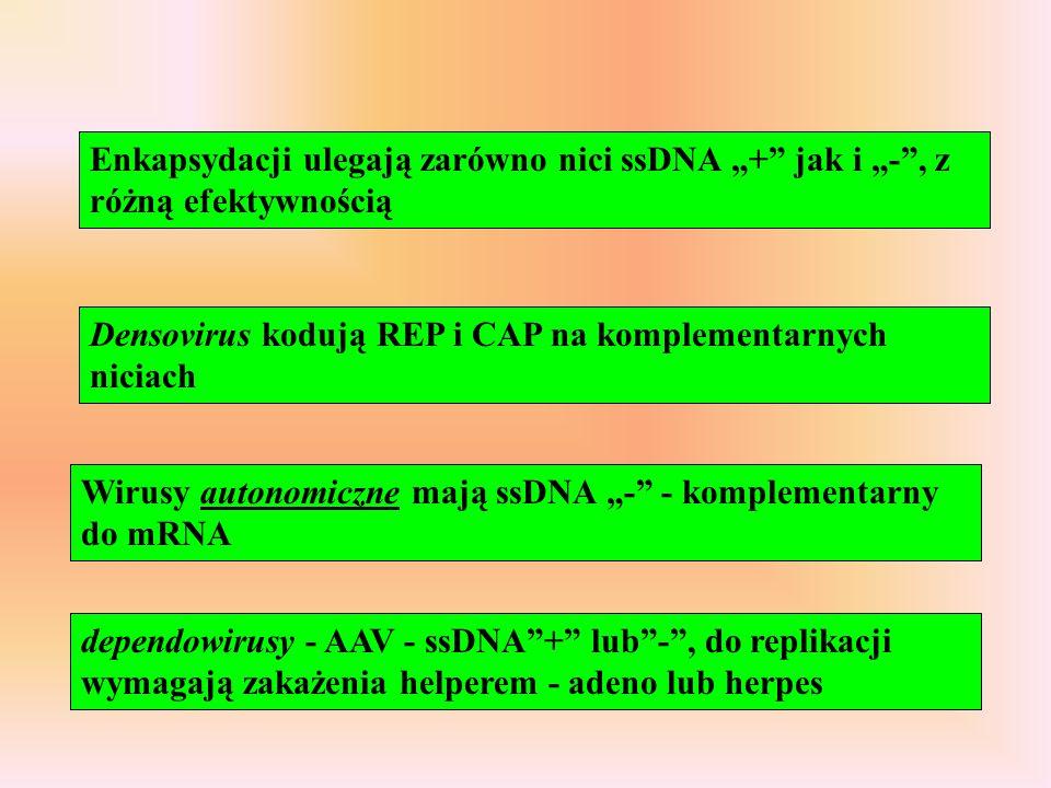 """Enkapsydacji ulegają zarówno nici ssDNA """"+ jak i """"- , z różną efektywnością"""