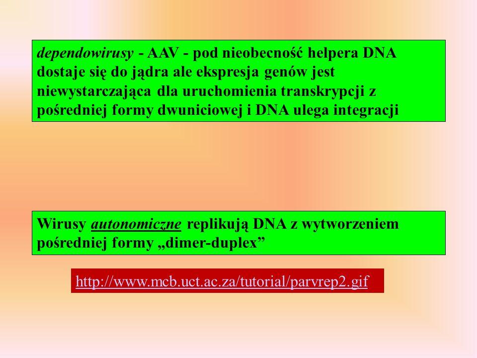 dependowirusy - AAV - pod nieobecność helpera DNA dostaje się do jądra ale ekspresja genów jest niewystarczająca dla uruchomienia transkrypcji z pośredniej formy dwuniciowej i DNA ulega integracji
