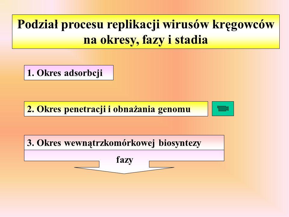 Podział procesu replikacji wirusów kręgowców na okresy, fazy i stadia