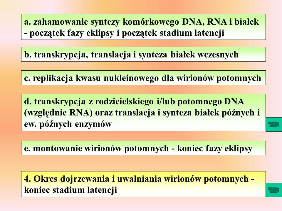 a. zahamowanie syntezy komórkowego DNA, RNA i białek - początek fazy eklipsy i początek stadium latencji