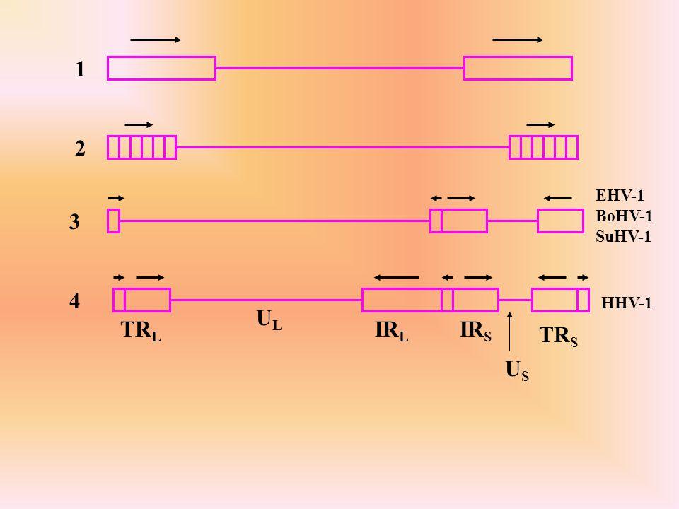 1 2 EHV-1 BoHV-1 SuHV-1 3 4 HHV-1 UL TRL IRL IRS TRS US