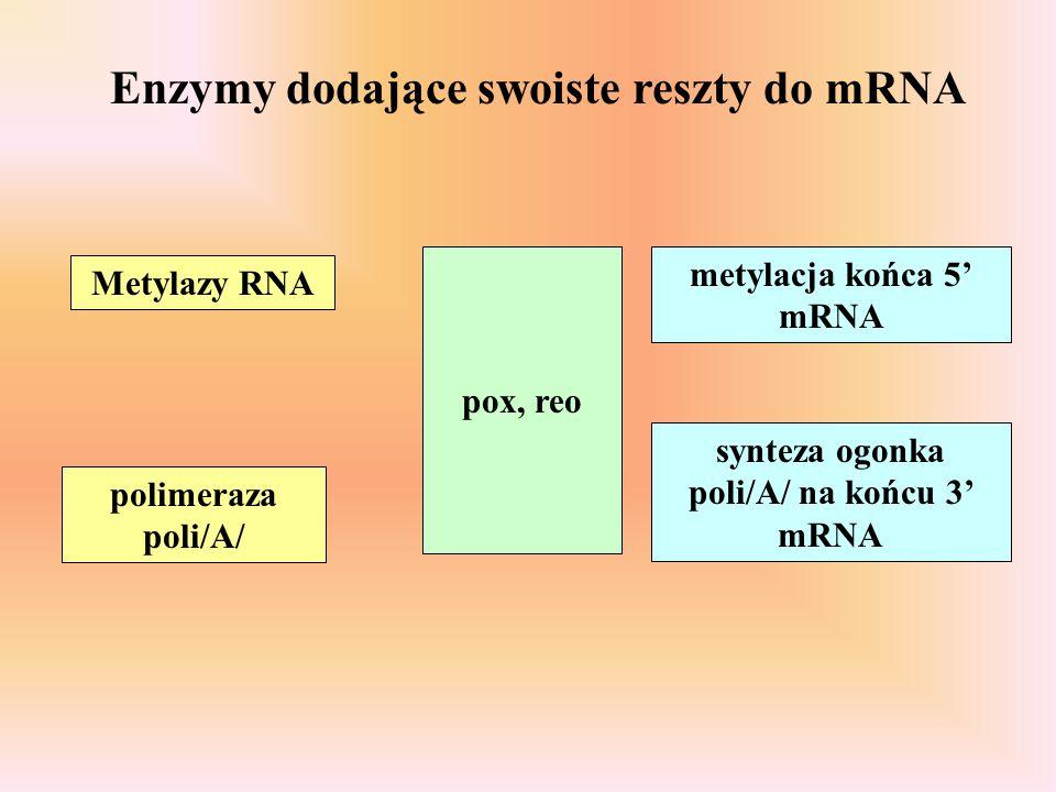 Enzymy dodające swoiste reszty do mRNA