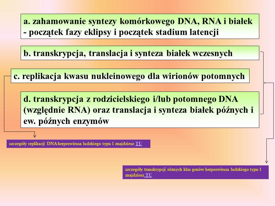 b. transkrypcja, translacja i synteza białek wczesnych