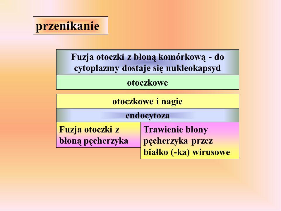 przenikanie Fuzja otoczki z błoną komórkową - do cytoplazmy dostaje się nukleokapsyd. otoczkowe. otoczkowe i nagie.