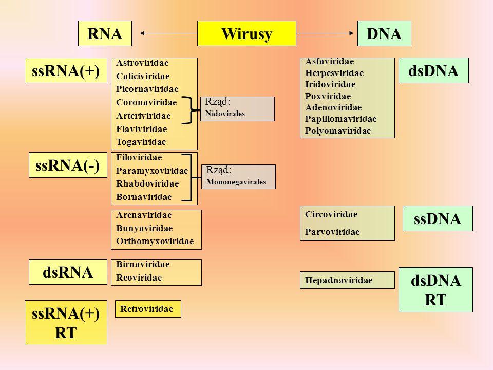 RNA Wirusy DNA ssRNA(+) dsDNA ssRNA(-) ssDNA dsRNA dsDNA RT ssRNA(+)RT