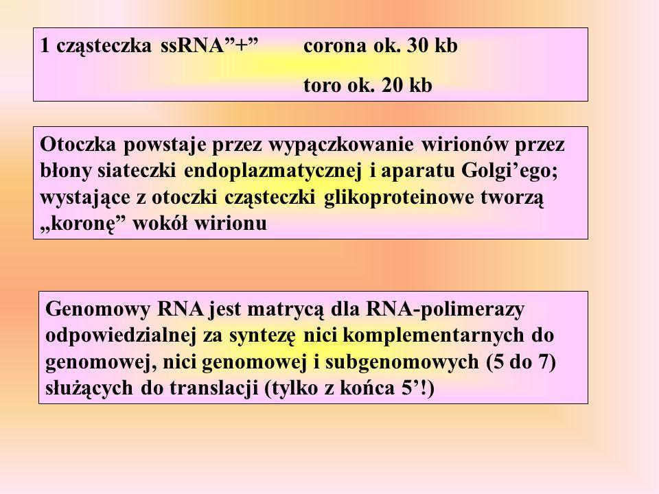1 cząsteczka ssRNA + corona ok. 30 kb