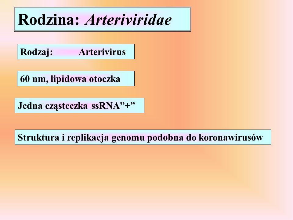 Rodzina: Arteriviridae