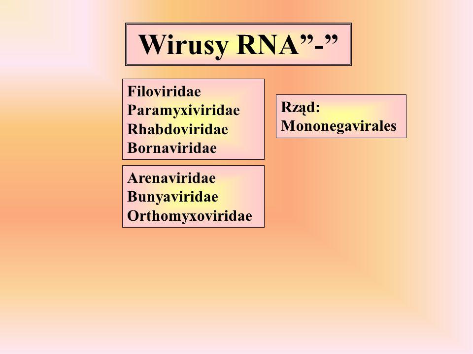 Wirusy RNA - Filoviridae Paramyxiviridae Rhabdoviridae Bornaviridae